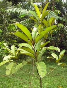 Palaquim fruit tree (Rimbun Daham Arts centre)